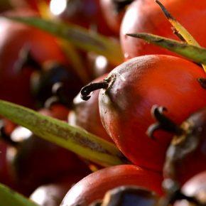Fresh fruit bunch