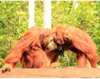 Orangutan habitats are protected as HCV