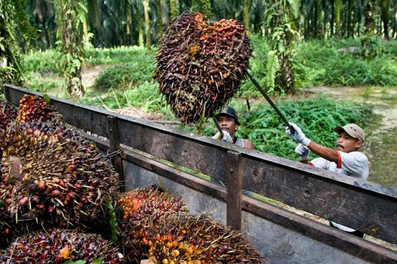 Workers harvesting Palm Oil Fresh Fruit Bunch on GAR estate
